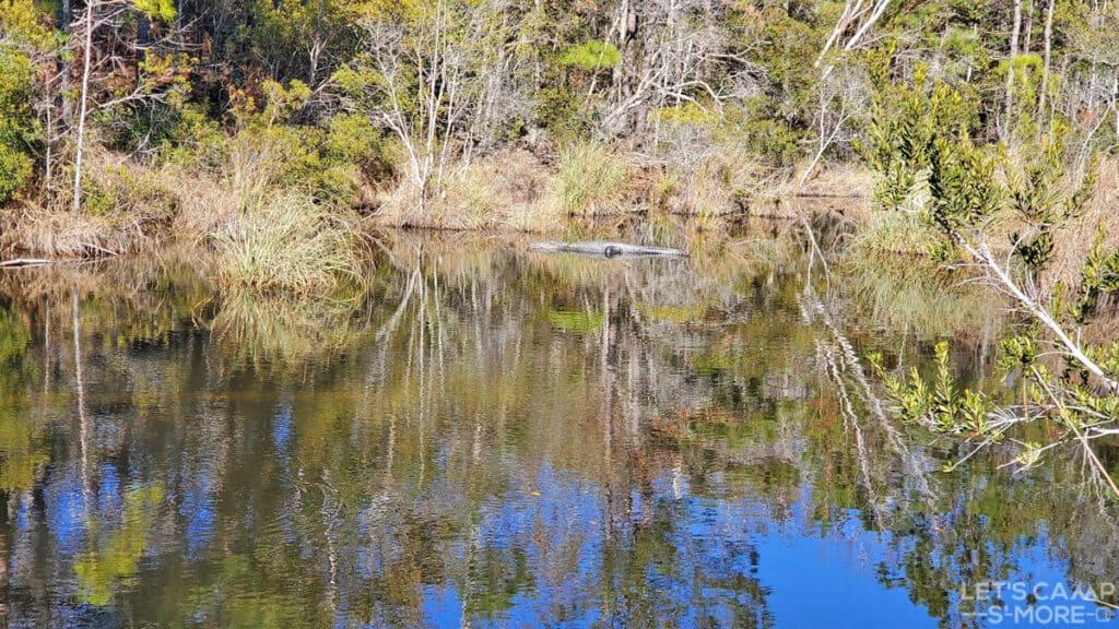 alligator in the Mississippi bayou