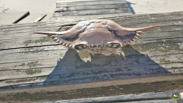 an old crab shell found at the beach that looks like Yoda